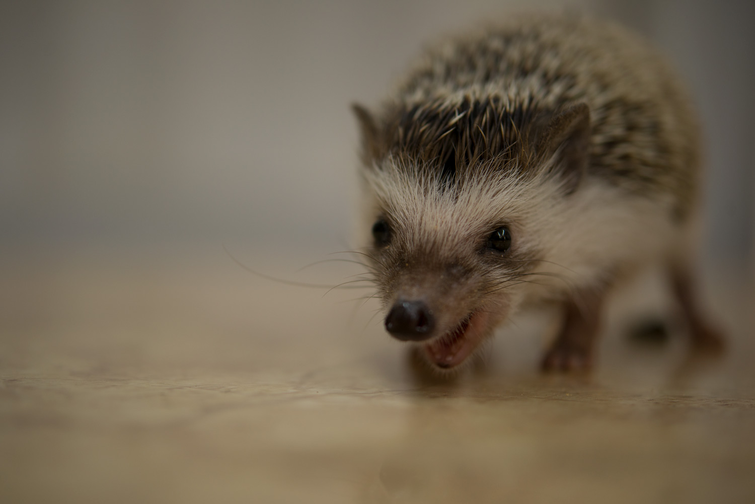 Why do hedgehogs lick themselves she